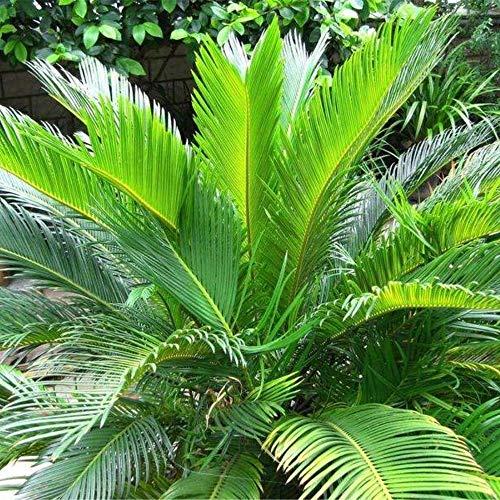 Portal Cool 5 Stücke Cycas Samen Im Freien Bonsai Pflanze Garten Ornament Pflanze Immergrüne Cycad Samen