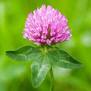 Red Clover Seeds, 1 Pound