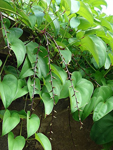 Dioscorea alata, Winged Yam, Water Yam, 10 graines