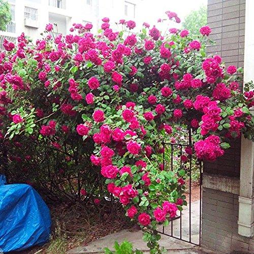 500/Sac de haute qualité Purple Rose Graines Belle fleurs en plein air Bricolage familiale Jardin Bonsai de vente en gros