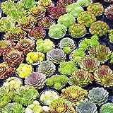 Sempervivum Mix - 5 Plants | Houseleek 5-15cm Potted Succulent Plants for Sale