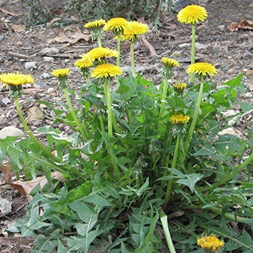 RWS Diente de león - Taraxacum officinale - Ensalada y. Planta medicinal - variedad Nouvelle - 200 semillas