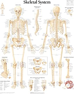 The Skeletal System chart: Wall Chart