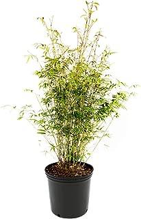 golden godess bamboo