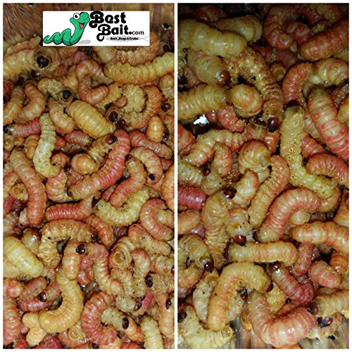 Bestbait Brand Butterworms Live Butter Worms for Reptile Food and Fishing Bait (25 count) …