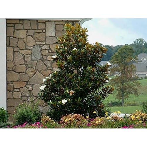 Magnolia Trees Amazoncom