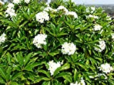 Seeds: White Potted Large Plumeria Seed Best Pr on Ebay