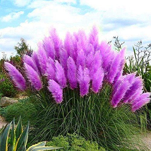 Kayi - Pampas Gras Schilf Samen, selten, beeindruckend,  schmückend, bunt, Feder, Hausgarten, violett, 100 pcs