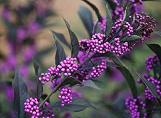 1 Pearl Glam Beautyberry - 4