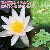 (ビオトープ)(めだか)ビオ植物とメダカセット 姫睡蓮(ヒメスイレン) 白 鉢なしセット本州四国限定 (休眠株)