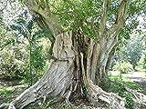 Ficus religiosa, Pepul-Baum, Buddha-Baum, Bo-Baum, Pepul Tree, Bo-Tree, 50 Samen