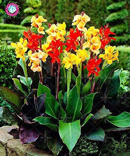 10 pcs couleurs mélangées Canna Lily Graines Belle Bonsai Graines de fleurs Feuillage Magnifique vivace Plante en pot pour jardin 9