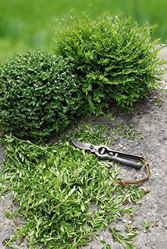 Bodendecker Immergrüne Heckenkirsche - Lonicera nitida Maigrün - 20-30cm im Ø 9cm Topf