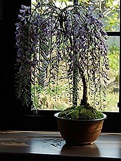 藤盆栽 薄紫の藤のお花から 香りも楽しめます。 信楽焼の鉢入り 父の日ギフト