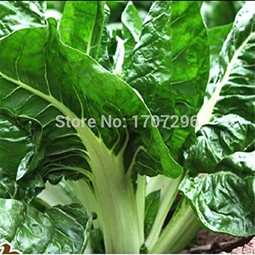 graines Chard - 10 pcs / lot