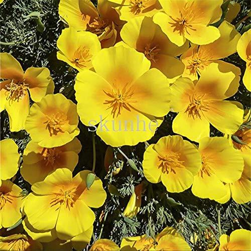 AGROBITS Pavot de Californie bonsaïs Californie Pavot bonsaïs Paysage bonsaïs Fleur Jardin vert 100pcs Plantation de fleurs (Hualing cao): 3