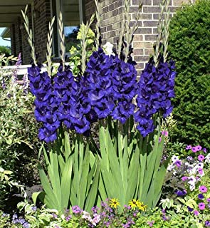 10 Gladiolus Blue Color Flower Bulb Perennial Summer Blooming Plant