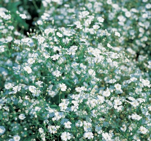 Suffolk herbes g?n?rations Lot???Perennials???gypsophile Panicul???250?graines