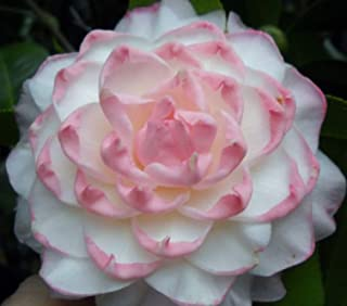 Exotic Plants Camellia japonica Pink Perfection - Japanese camellia - 10 seeds