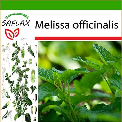 SAFLAX - Heilpflanzen - Zitronen - Melisse - 150 Samen - Mit keimfreiem Anzuchtsubstrat - Melissa officinalis