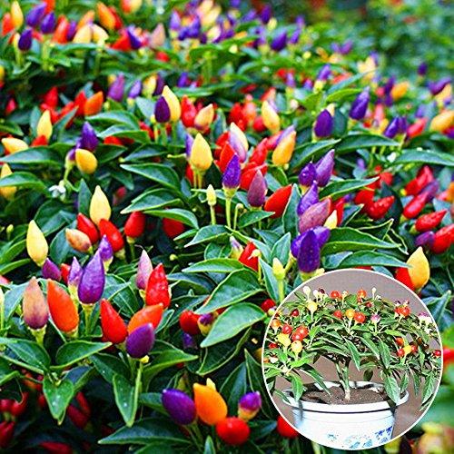 Little Finger Paprika-Samen, 50 Stück, mehrfarbig