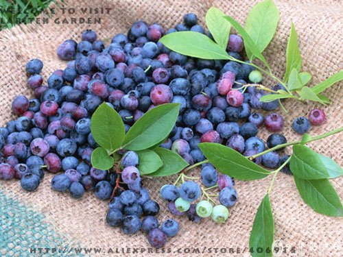 2015 Semillas De Flores Promotion! 50 Pcs Blueberry Bonsai Series Tea Heirloom Berry Graines fraîches, fruits comestibles, Indoor, Outdoor