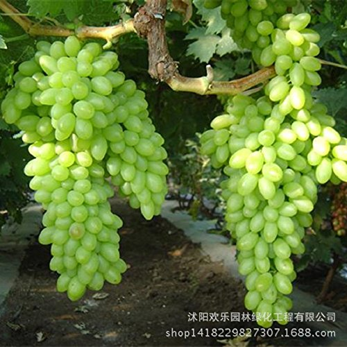 Green Grape seed sweet and delicious fruit fruiting bonsai Villa grapes 50 Seeds/Pack