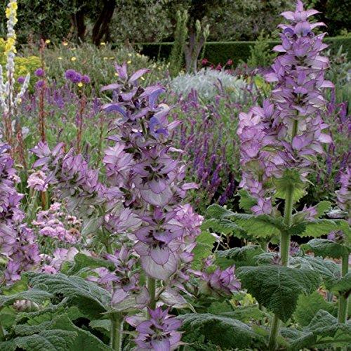 Muskatellersalbei - Salvia sclarea - Gewürz- u. Arzneipflanze - 300 Samen