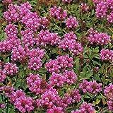 Kleine Braunelle 'Loveliness Pink' (Prunella...