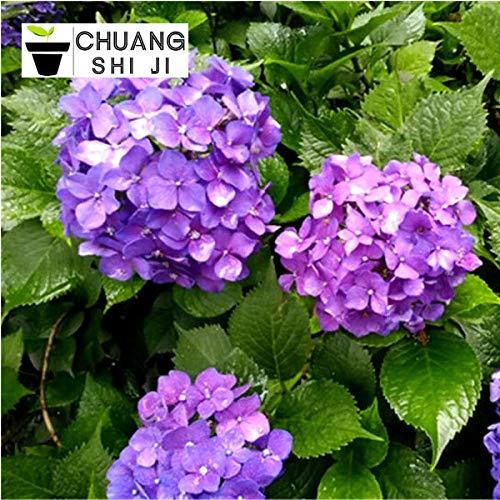 Hortensie Topf Grünpflanzen Lucky Flower Hortensie Sämlinge Hortensie Hortensie Endless Summer Wood 300 Kapseln-Deep Purple 300 Kapseln