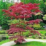 Arce japonés * Acer palmatum Atropurpureum * planta en maceta