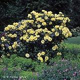 Strauchrose Eden Rose® Rosen-Blüten zweifarbig Rosa-Weiß - Nostalgische Weltrose angenehmer Duft, robust, aufrechter Wuchs ? Winterharte Rose von Garten Schlüter - Pflanzen in Top Qualität