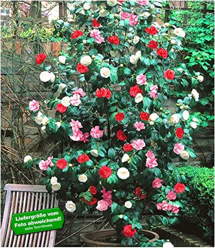 BALDUR Garten Winterharte Garten-Kamelie 'Tricolor', 1 Pflanze Camellia Japonica japanische Kamelie winterhart
