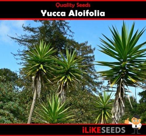 Yucca « aloifolia » 10 graines Jardin minimum Plantes Un aménagement paysager Gem Facile à cultiver