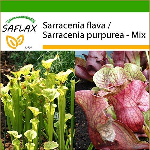 SAFLAX - Sarracénie pourpre - 10 graines - Avec substrat - Sarracenia flava/S. purpurea - Mix