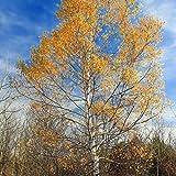 Tomasa Gartensamen- 100 Stück Selten Weiße Birkensamen Betula Baum Papyrifera Samen exotische Samen Bäume Pflanzensamen winterhart mehrjährig Sedum Pflanzensamen