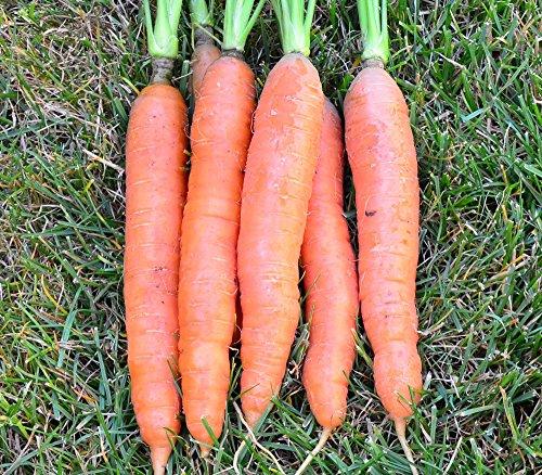 500 Seeds of St. Valery Carrot / Daucus carota