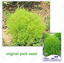 120Seeds / Pack, Ornamental Plant Kochia Seeds Easy To Develop, Kochia Broom Seedlings Peacock Pine Seeds