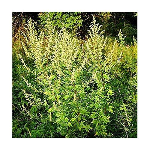 Einjähriger Beifuß - Qing Hao - Sweet Wormwood - Artemisia annua - 1 Portionssaatgut, Inhalt reicht für ca. 20 Pflanzen