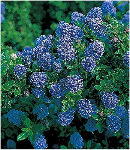 BALDUR Garten Immergrüne Säckelblume Blauer Ceanothus 'Blue Mound', 1 Pflanze Kalifornischer Flieder winterhart