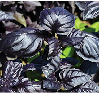 David's Garden Seeds Herb Basil Amethyst Improved SL9468 (Purple) 200 Non-GMO, Open Pollinated Seeds