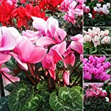 POTATO001 50PCS colore misto fiore ciclamino semi bonsai decorazione casa giardino perenne, Mixed Colors, Cyclamen Seeds