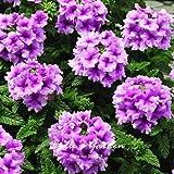 5: 100 Unids Multi-Colores Variedad Verbena Semillas Plantas Hardy Semillas de Flores Exóticas Flores Ornamentales Semillas de Bonsai 05