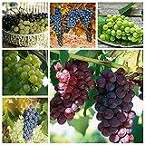50Pcs Miniature Grape Vine Seed Grapevine Dwarf Rare Bonsai Plant Viable