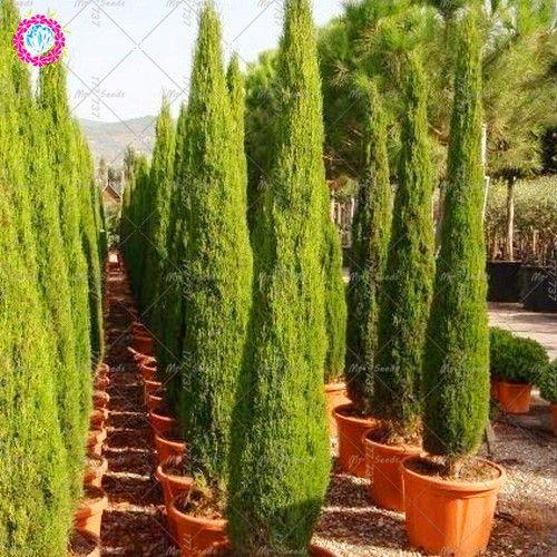 20PCS rara ciprés de semillas de semillas de coníferas semillas de coníferas perennes del jardín del hogar de DIY planta en maceta