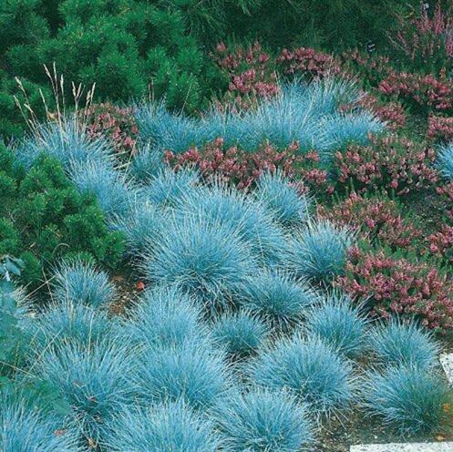 100 bleu fétuque Semences à gazon - (Festuca glauca) herbe ornementale plante vivace si facile à cultiver 2
