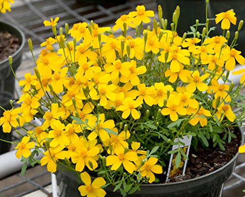 Mexican Mint Marigold 50 Seeds Tagetes Lucida Herbal Tea Soup CombSH B28#GRS00035