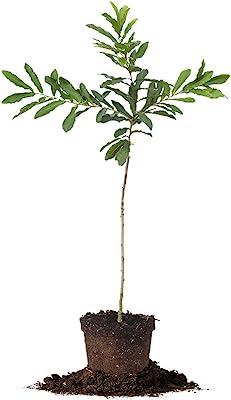 Sawtooth Oak - Size: 5-6 ft, Live Plant, Includes Special Blend Fertilizer & Planting Guide