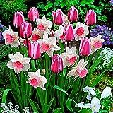 25x Blumenzwiebeln Mischung | 25er Mix Tulpen und Narzissen | Rosa Mischung | Blumenzwiebeln Frühblüher | Ø 11cm