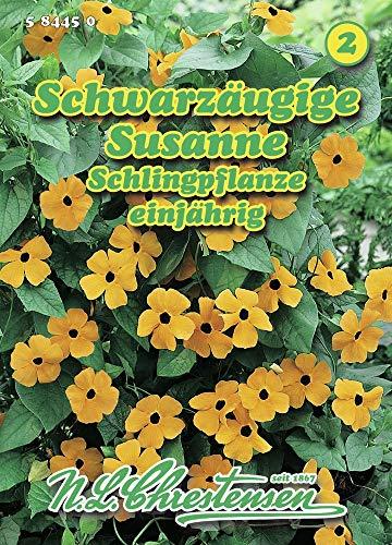 Schwarzäugige Susanne Thunbergia alata Schlingpflanze Saatgut